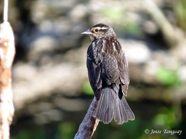 carouge-épaulettes-oiseau