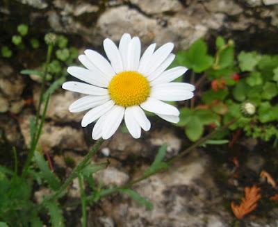 Margarita (Leucanthemum vulgare)flor blanca