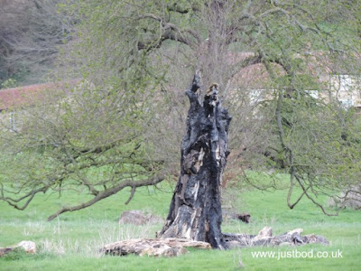 Fire-blackened tree at Ebberston, Yorkshire