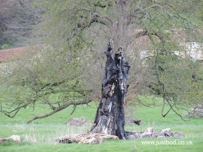 Fire-blackened tree at Ebberston, Yorkshire