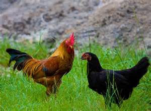 Manfaat Ayam Kampung Yang Sangat Penting Buat Kesehatan Kita