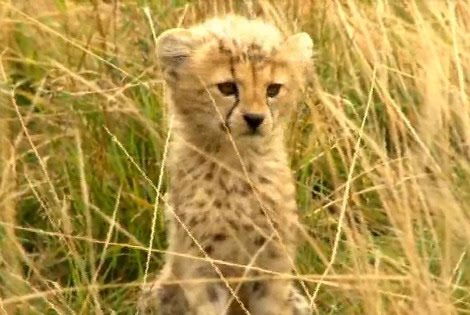 Funny Picture Clip: Cute Baby Cheetah Kitten Mewing Picture