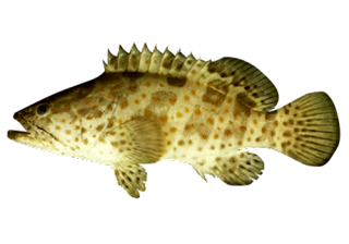 Kandungan Ikan Kerapu macan - Gambar dan klasifikasi