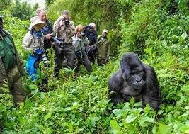 W.Africa gorillas