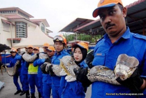 Ular Sawa Malaysia Terpanjang Di Dunia