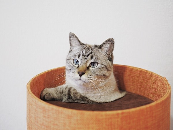 頂上の穴から上半身を出しているシャムトラ猫