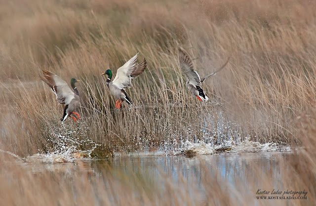wildlife,nature,colors,water,υδροβιοτοποι,πανιδα της Ελλαδας,αγρια ειδη πουλιων ,Κωστας Λαδάς φωτογραφιες