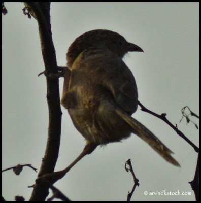 Common Babbler, Babblers