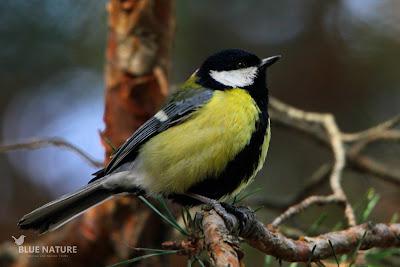 Carbonero común (Parus major). La extensión de la línea negra del vientre nos indica que es un macho.