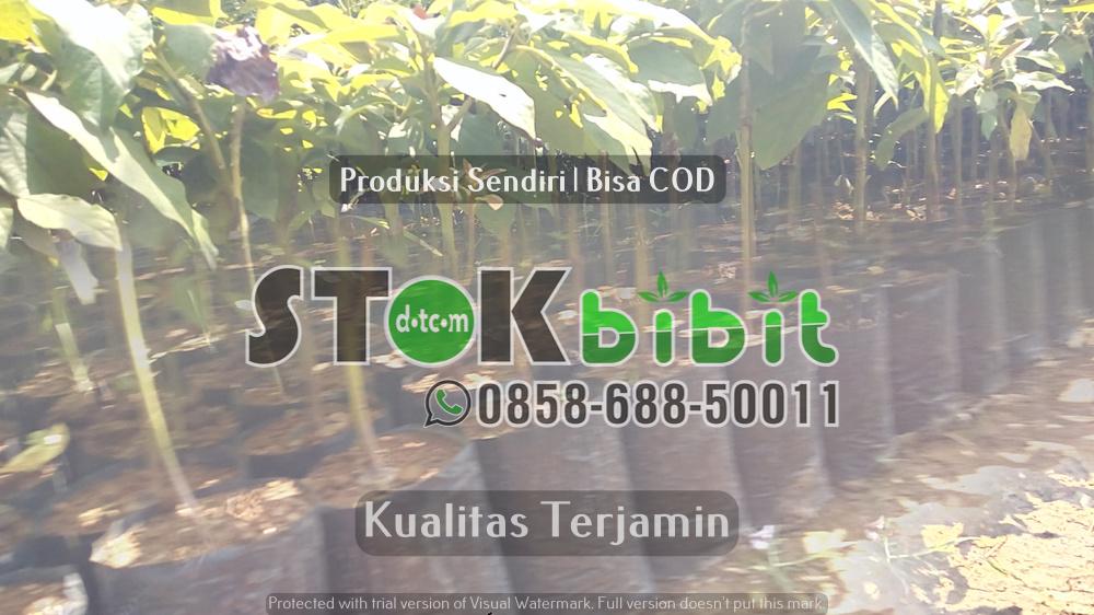 Bibit Durian Bawor      Berkwalitas     berkualitas
