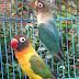 10 Cara Melatih Lovebird Lengkap Dari A Sampai Z