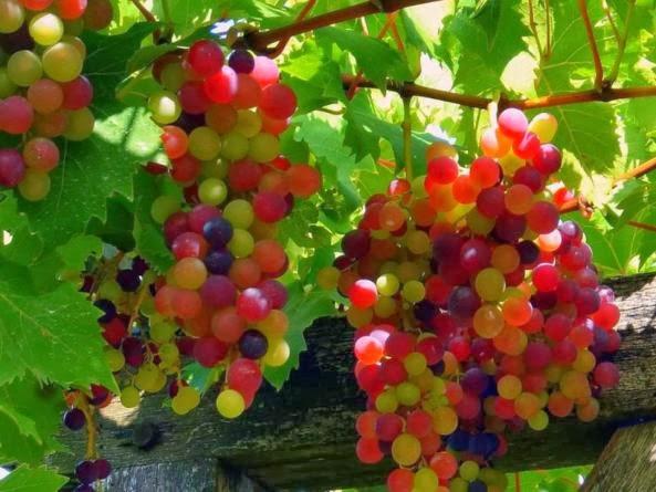 42 Manfaata Buah Anggur Bagi Kesehatan yang Menakjubkan