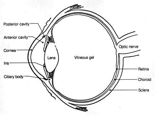 Ncert solutions for class 8th ch 16 light science study rankers sketch of human eye ccuart Images
