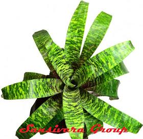 BROMELIA-SWORD-GREEN