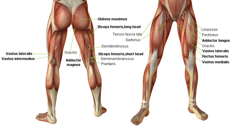 Leg Muscles Anatomy Jacked 4ever