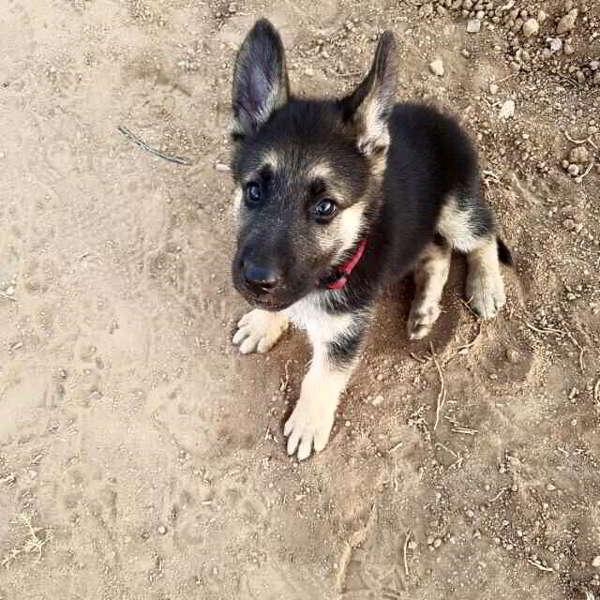 cachorro cruce pastor alemán