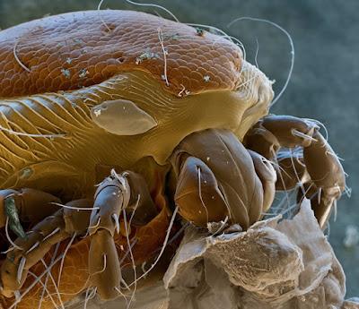 Un acaro si accanisce con ferocia su una indifesa larva di zanzara