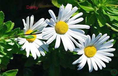 daisy flower, daisy