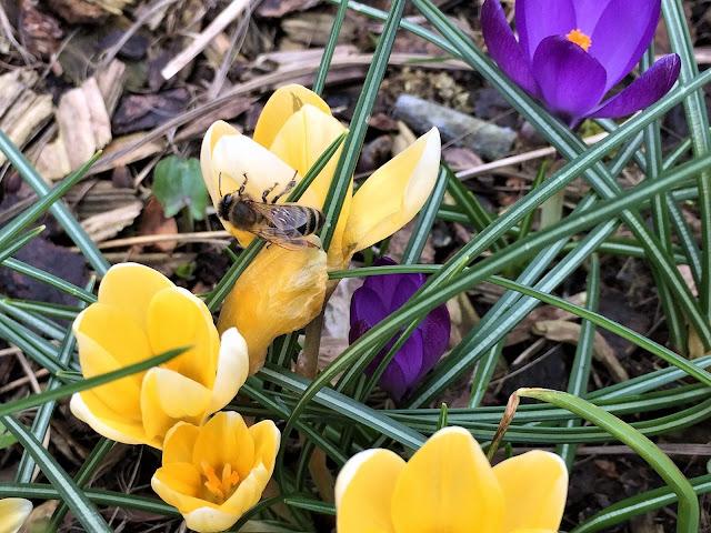 Biene auf den Krokusblüten - Frühlingsboten