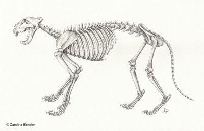 Tigres Esqueleto Del Tigre De Amur