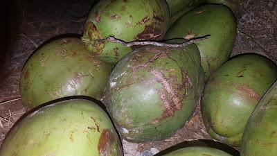 água de coco em itapema