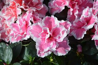 makna bunga azalea