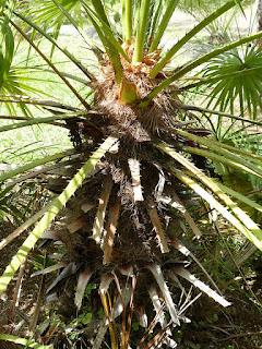 Chamaerops humilis - Palmier nain - Faux palmier doum