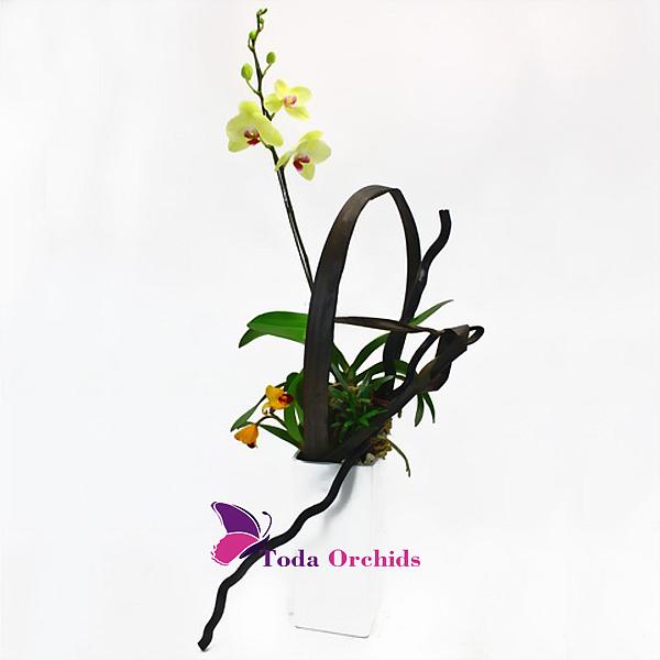 Giỏ hoa lan hồ điệp vàng 1 cành