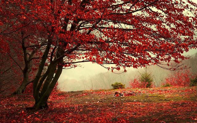 Boom met rode herfstbladeren