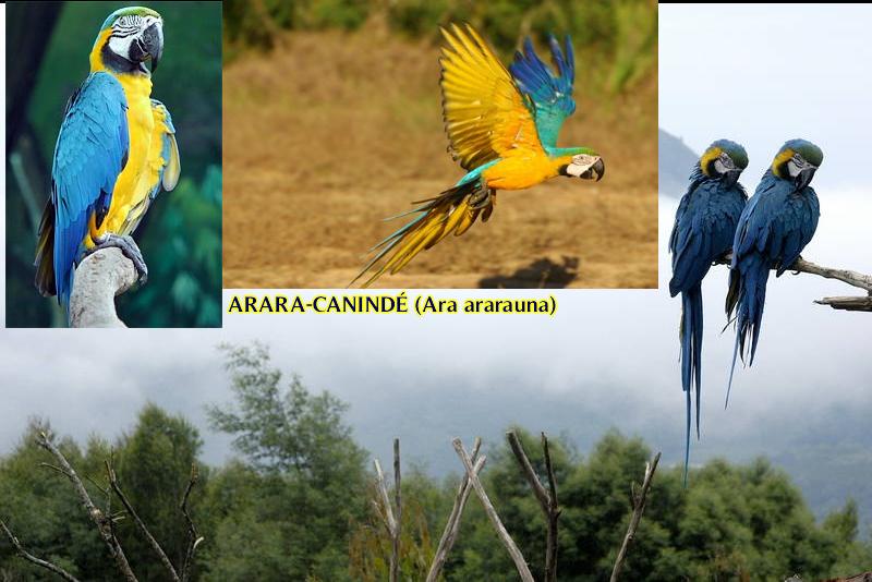 Arara Canidé (Ara ararauna)