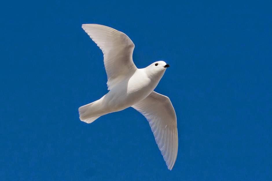 aves del mar Argentino petrel blanco