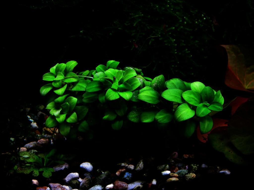 ráy nana petite có lá nhỏ, buộc lên lũa rất tự nhiên