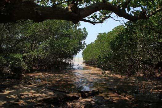 hutan bakau pulau biawak indramayu