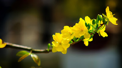 Yellow Apricot Flower (Hoa Mai)