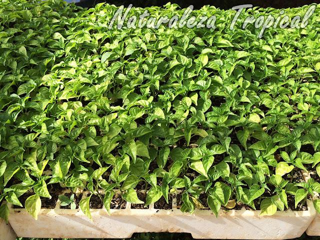 Beneficios de sembrar semillas en Bandejas de Cultivo o Bandejas para Semilleros