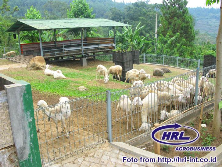 Arsip: Pasar Domba dan Kambing Online Indonesia: Contoh ...