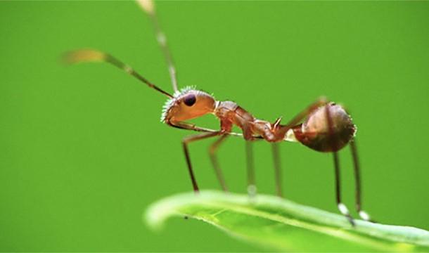 Karınca Zehiri yapılışı
