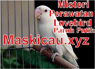 Setelan dan cara perawatan lovebird paruh putih