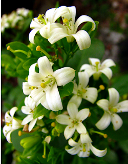 Jasmine Flowers in Puriscal