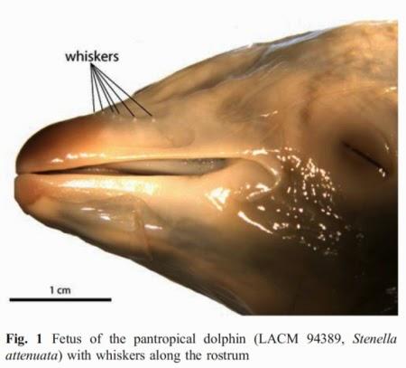płód delfina wąsy