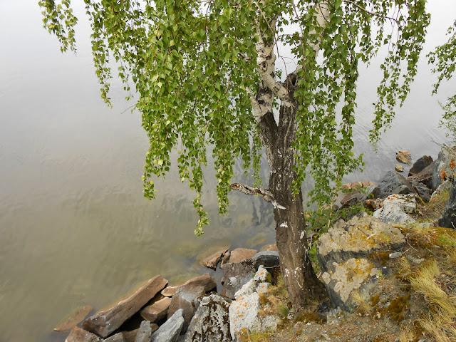 Берёза у кромки озера Большие Касли