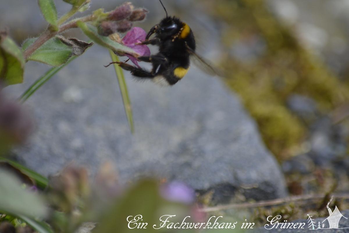 Hummel, Bienen, Gartenblog
