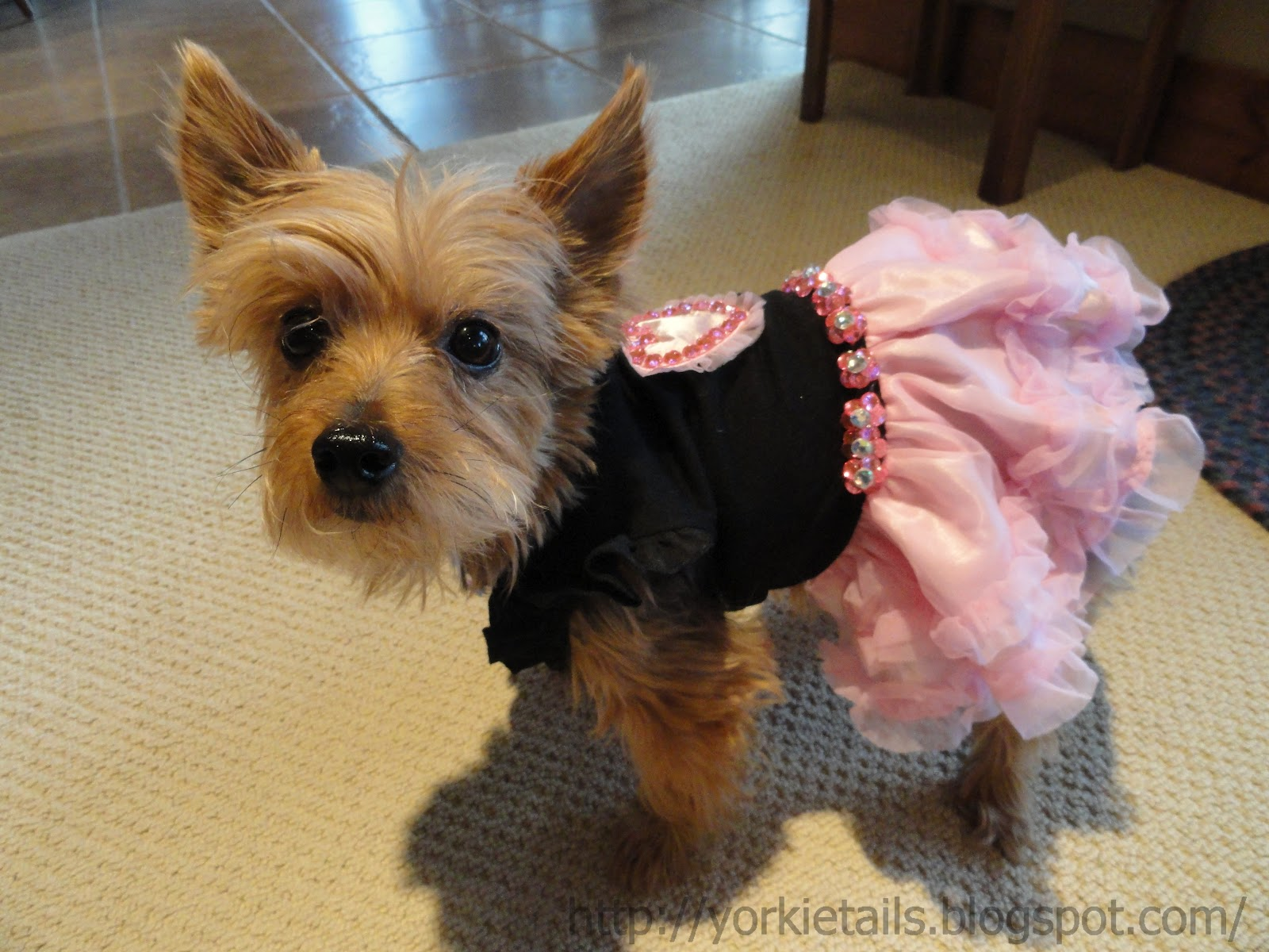 yorkie with tail yorkie tails what a birthday girl wants 6933