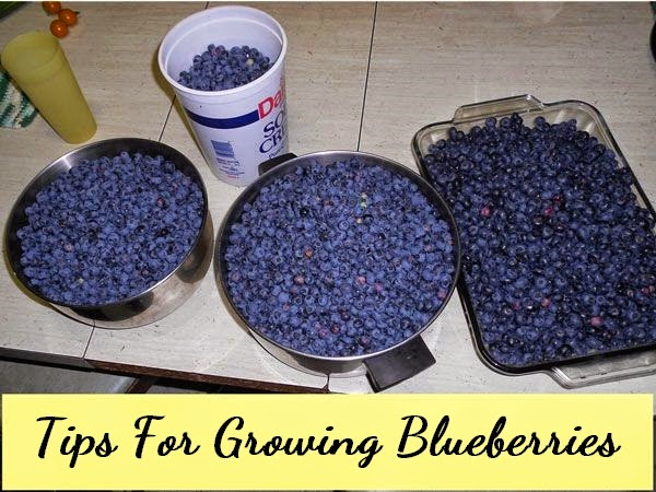 Tips For Growing Blueberries #Fruit_Gardening