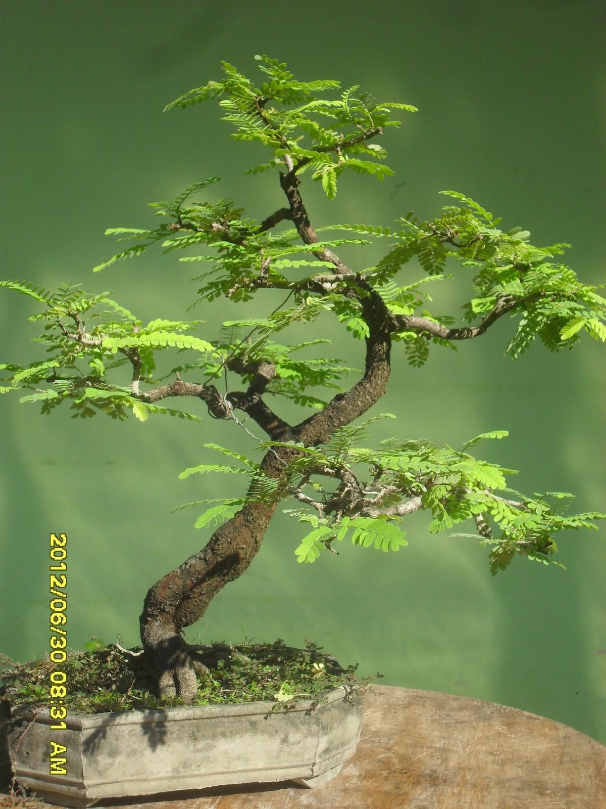Kumpulan Artikel Tentang Bonsai  kumpulan gambar bonsai