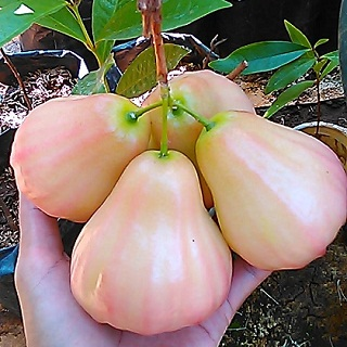 jambu air kingrose