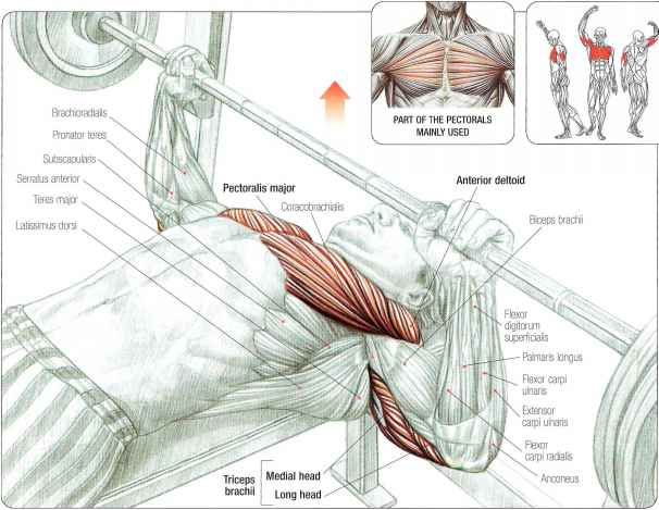 Chest And Triceps Superset Workout – Muscles to Grow ... |Flat Bench Press Muscles Worked
