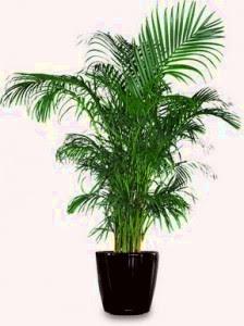Palma areca planta