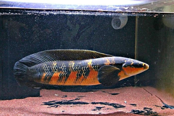 Jenis Ikan Channa Pulchra Marulioides