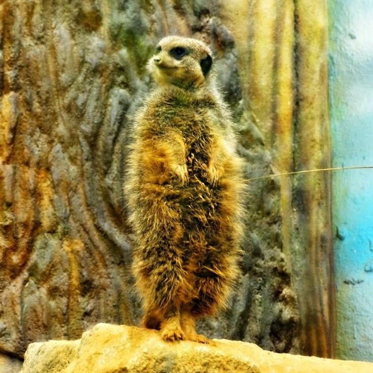 A suricata, em posição de vigia, no Beto Carrero World